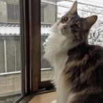 【雪と猫の写真満載】初めて雪を見た、ノルウェージャンフォレストキャット