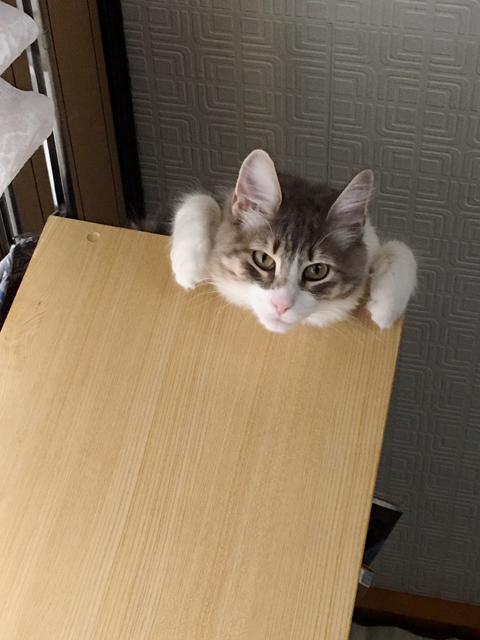 猫(ノルウェージャン)が一点を見つめる理由、判明すw