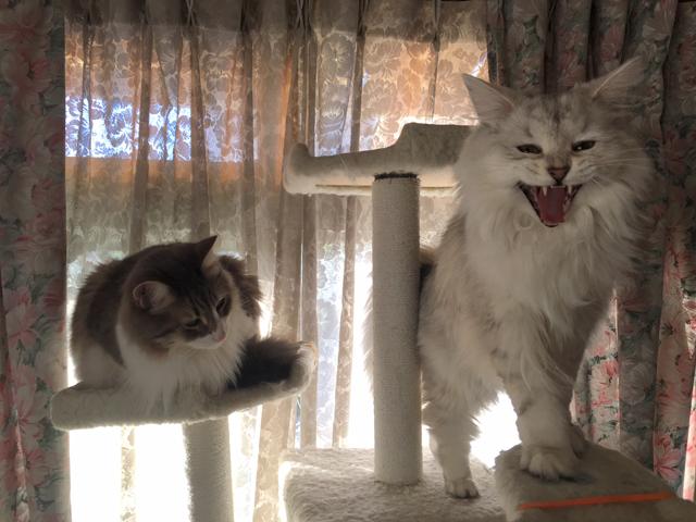 【猫動画】押すなよ押すなよ!! ノルウェージャンとチンチラの三文芝居