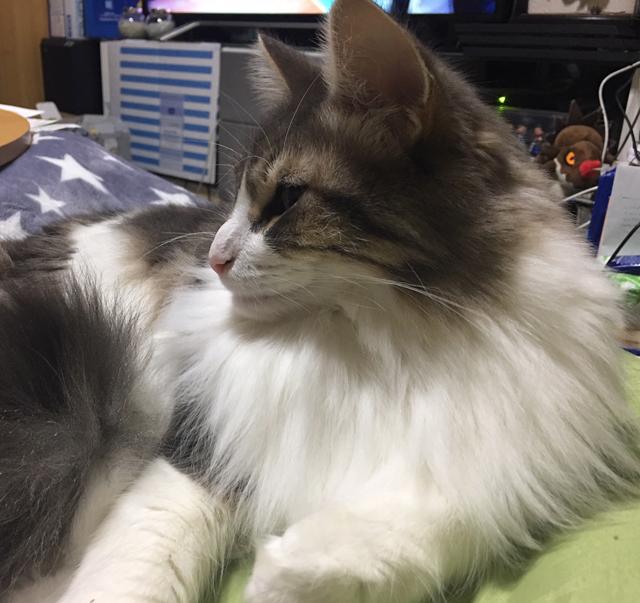【猫エッセイ】音に紛れるノルウェージャン