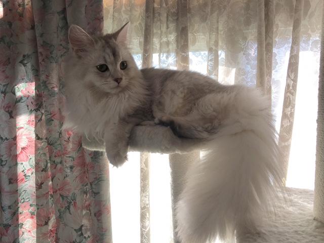 【猫動画】ノルウェージャンとチンチラのキャットタワーの攻防