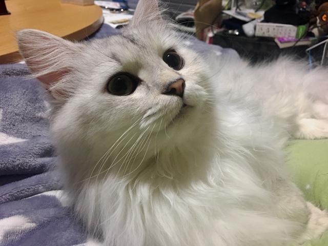 【猫写真漫画】かわいいチンチラペルシャが、闇に落ちるとき