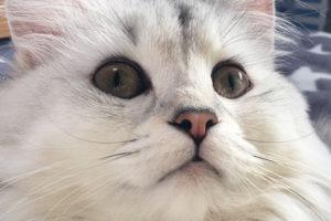 """猫に""""まつ毛""""はあるの? ノルウェージャンとチンチラの目を見ると……"""