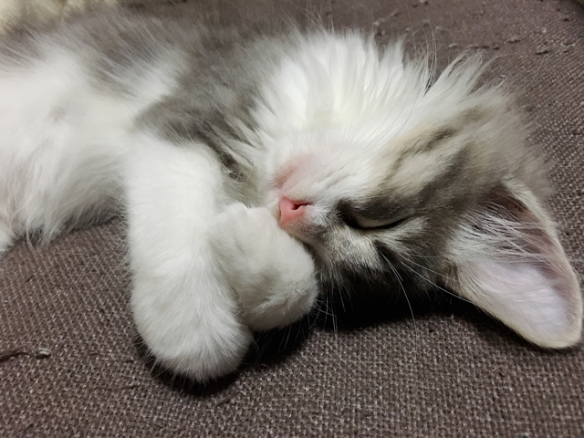猫に耳掃除は必要? 長毛種はとくに? 手入れの方法と頻度を経験から解説!