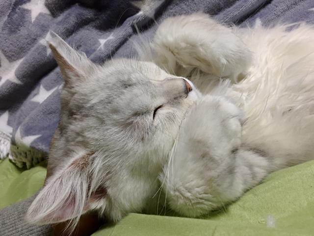 """【猫写真多数】写真で見る""""日本一寝相が悪い""""チンチラペルシャ"""
