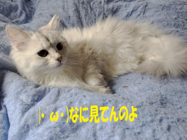 【猫の日記念】ノルウェージャンとチンチラの最新写真館!