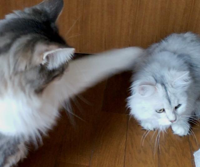 ノルウェージャン、チンチラの頭をド突くwww【猫動画】