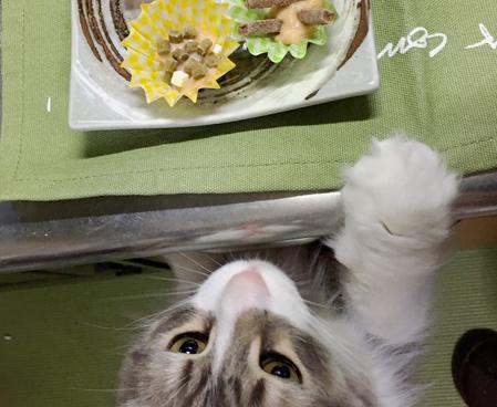 【猫写真満載】ノルウェージャンとバレンタインデー 手作り猫チョコ?に興奮?