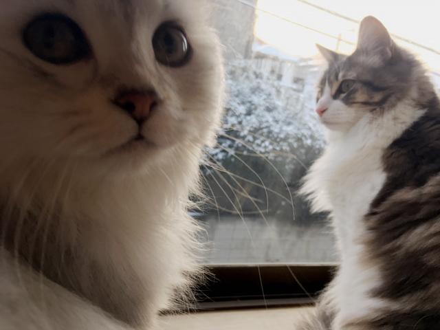 【猫写真満載】ノルウェージャンと雪景色