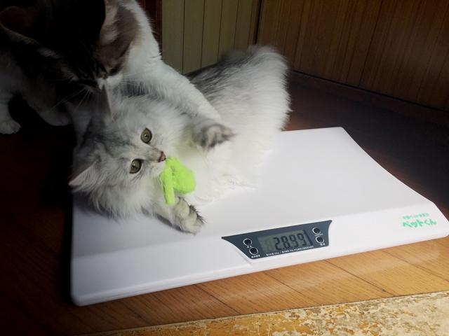 猫用体重計レビュー! ノルウェージャン、正式計量w
