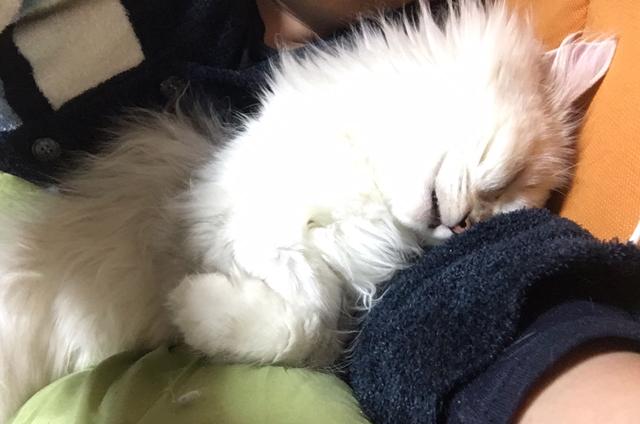 ノルウェージャンとチンチラ、モフモフをモフモフする【猫動画】
