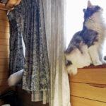 ノルウェージャン、ペルシャと合体して170センチ超の長猫にw