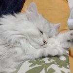 【長毛猫】ペルシャ換毛期! 1回のブラシでこれだけ抜けます!
