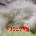 【長毛猫】ペルシャのお尻のウンチ付着問題、究極の対処法を実行
