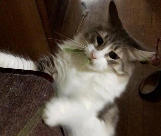猫じゃらしに猫はジャレる?ノルウェージャンは魔力に勝てるのか