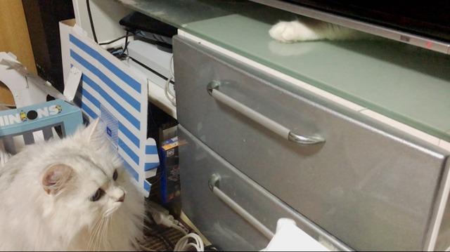 ノルウェージャンを捜せ! 志村、うしろ!編【猫写真】