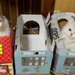 ノルウェージャンとペルシャ、猫長屋にお引越しw