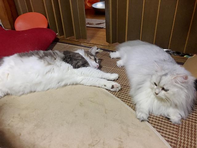 猛暑の真昼…猫は家でどうしてる?【ノルウェージャン】
