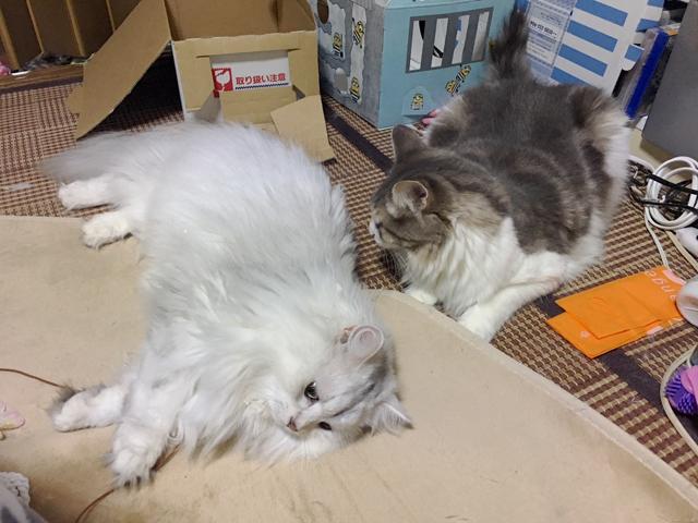猫はナゼ布の下の物にジャレる?【ノルウェージャン、ペルシャ】