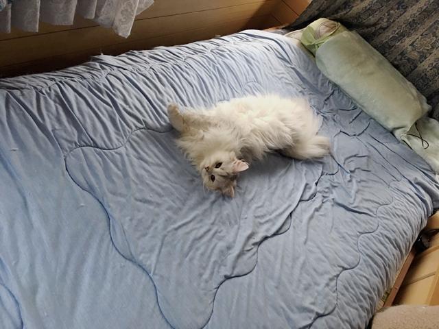 猫に夜中に起こされる!原因と対処法教えます【ノルウェージャン】