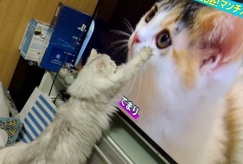 ペルシャとノルウェージャン、テレビのマンチカンに夢中【猫動画】