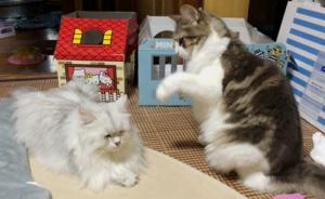 ノルウェージャン、ペルシャを殴ろうとして気づかれる【猫動画】