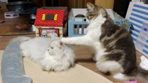 ノルウェージャン、ペルシャを殴れたけど反撃されるw【猫動画】