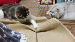 猫、多頭飼い時のヒエラルキー ノルウェージャンとペルシャの関係
