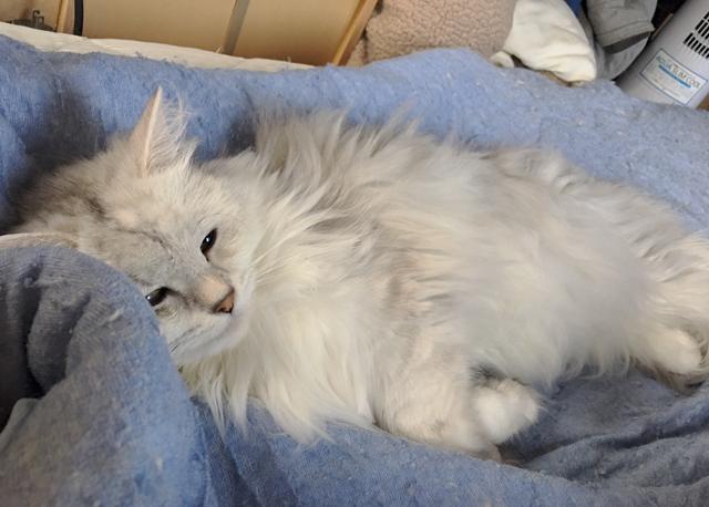 猫の行動で知る季節の変わり目【ノルウェージャン、ペルシャ猫】