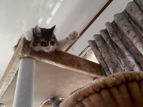 ノルウェージャンとペルシャ猫が頭上に! 仕事の邪魔する猫写真館
