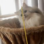 猫に利き手はあるの?ペルシャ猫のメス、左利きを証明する猫動画
