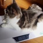 猫の体重測定!おすすめ体重計も紹介【ノルウェージャン】