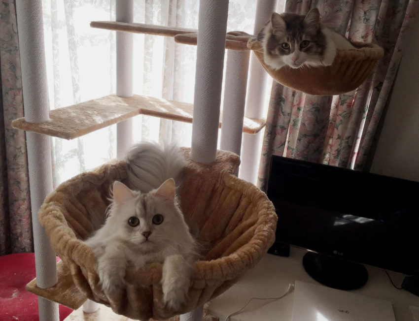 ノルウェージャンとペルシャ猫