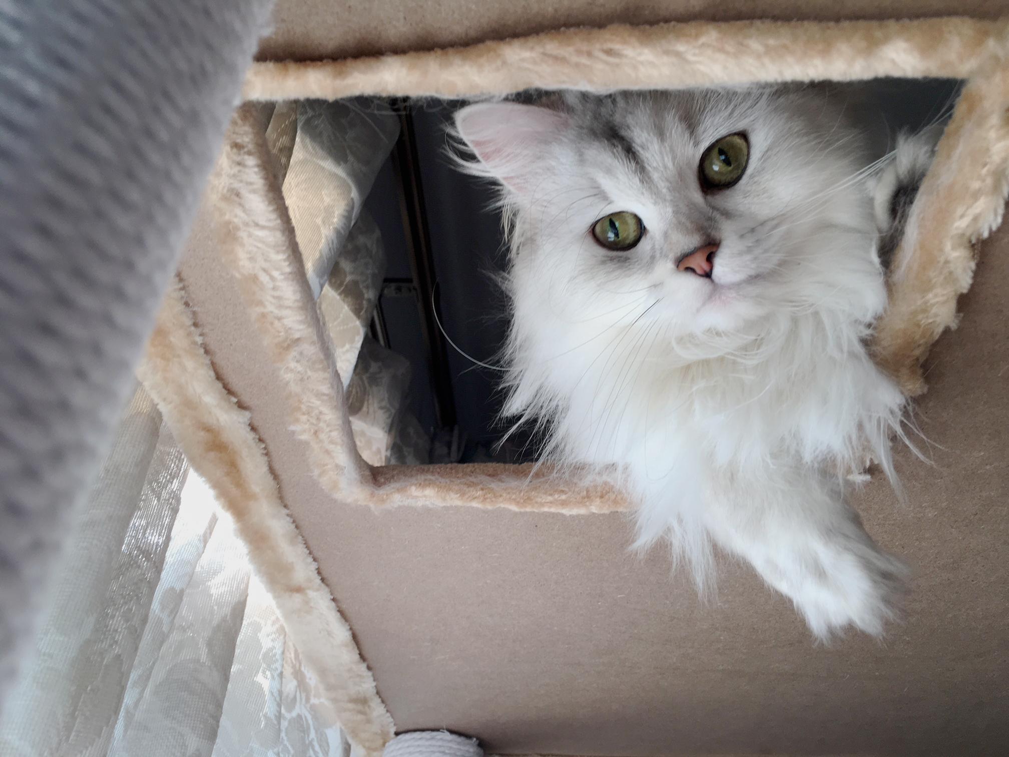 ペルシャ猫、キャットタワーを満喫!使い心地を解説します