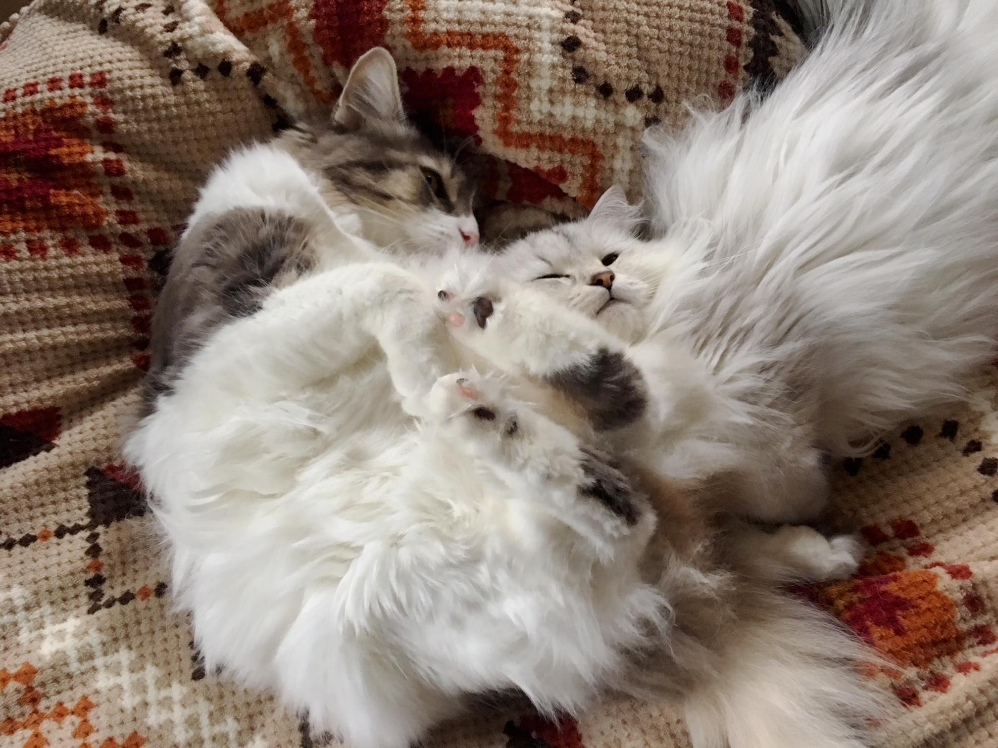 猫の寒さ対策は冬毛?重なること?な猫動画【ノルウェージャン】