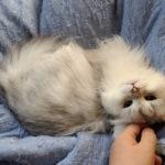 """猫、""""毛布ふみふみ""""で飼い主の膀胱を押す【ノルウェージャン】"""