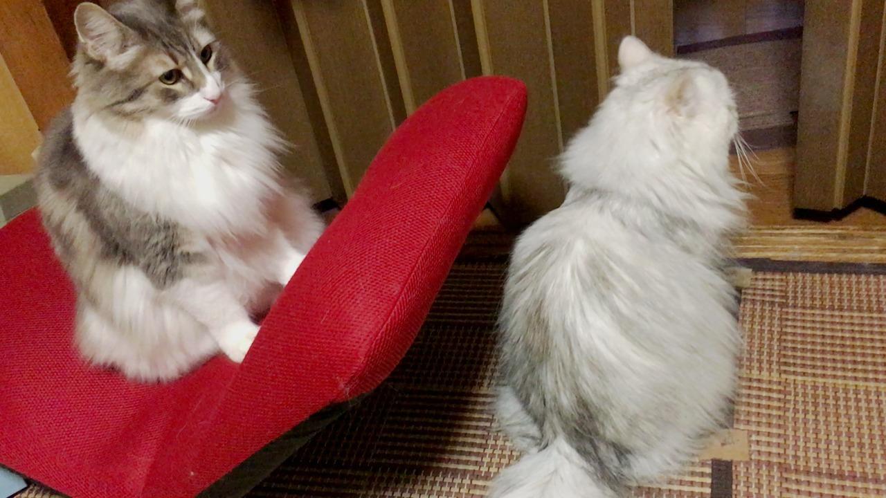 【猫動画】ペルシャ猫、ノルウェージャンの罠にハマる
