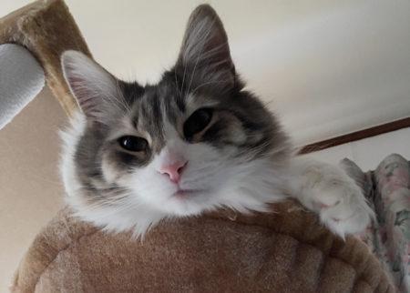 【猫写真】ノルウェージャンフォレストキャット、見つめる