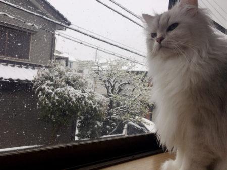 【猫写真】雪とペルシャとノルウェージャン